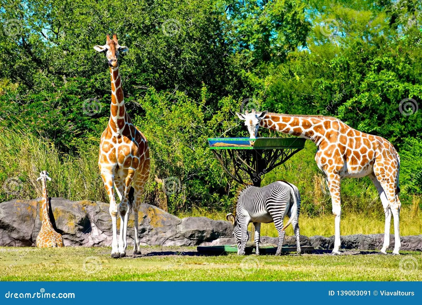 Giraffes And Zebra Feeding While Antelope Walks At Bush