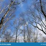 Texture Of Bare Birch Branches And Blue Sky With White Clouds Stock Image Image Of Forest Work 176536339