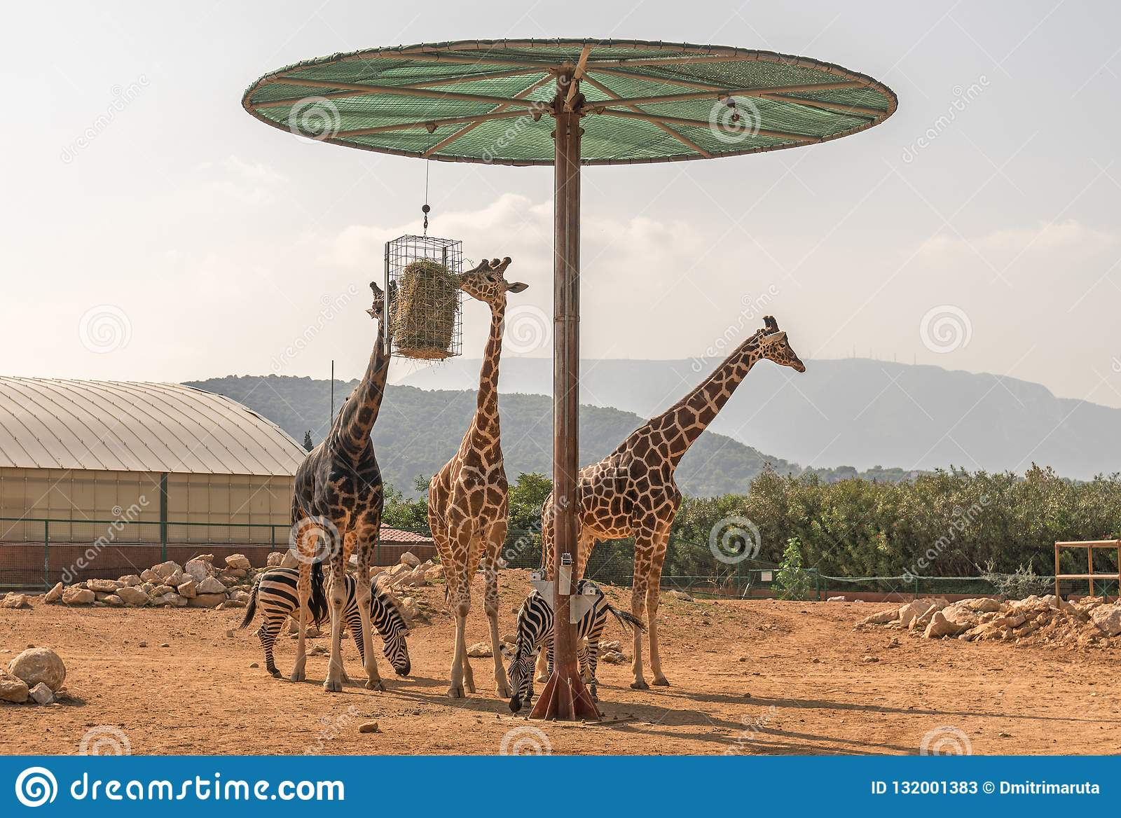 Three Giraffes And Two Zebras Stock Image