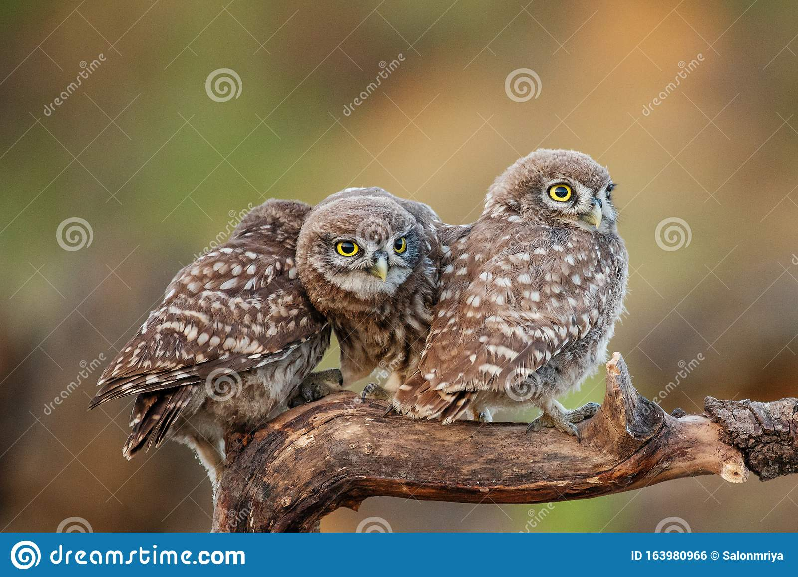 Three Young Little Owls Athene Noctua Sitting On A Stick
