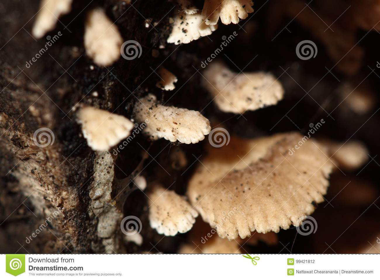 Tiny White Mushroom In Rain Season On Moisture Old Wood On
