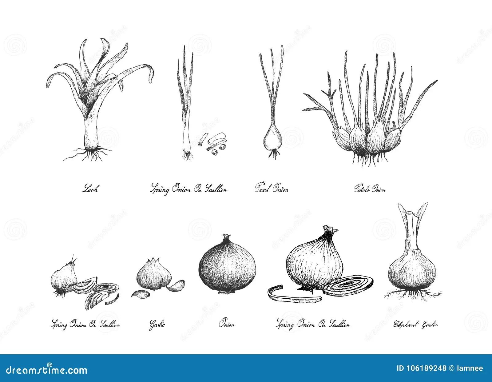 Tire Par La Main Des Legumes A Bulbe Sur Le Fond Blanc