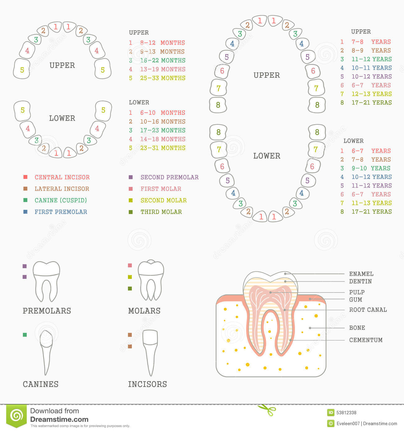 Orthodontist Human Tooth Anatomy Vector Infographics With