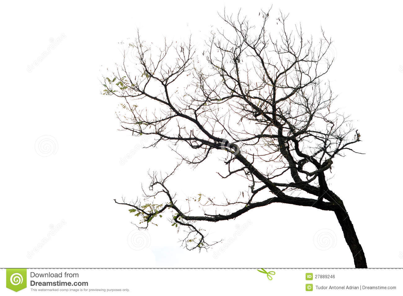 Tree Branches Isolated On The White Background Royalty
