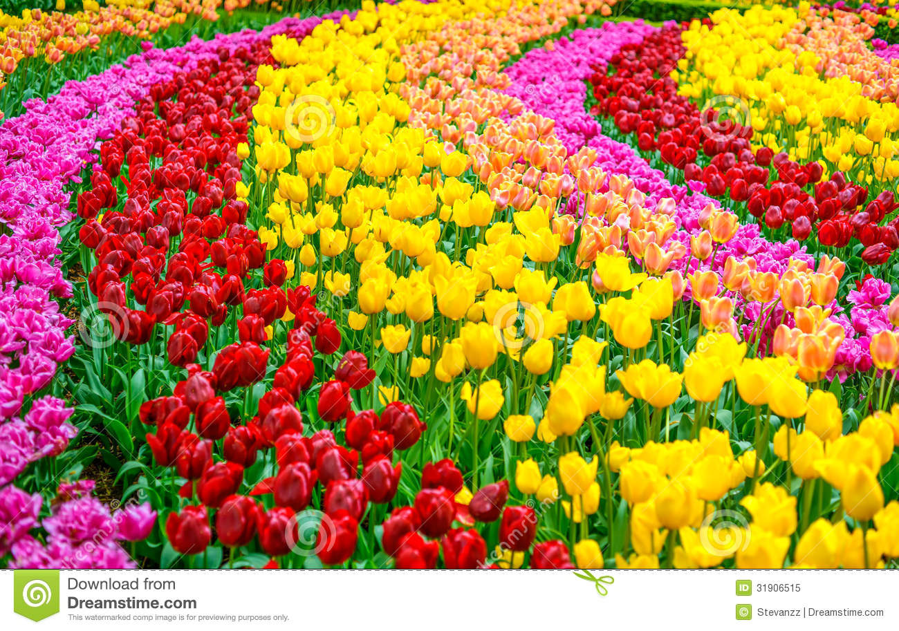 Tulip Flowers Garden In Spring Background Or Pattern Stock Image     Download Tulip Flowers Garden In Spring Background Or Pattern Stock Image    Image of leaf