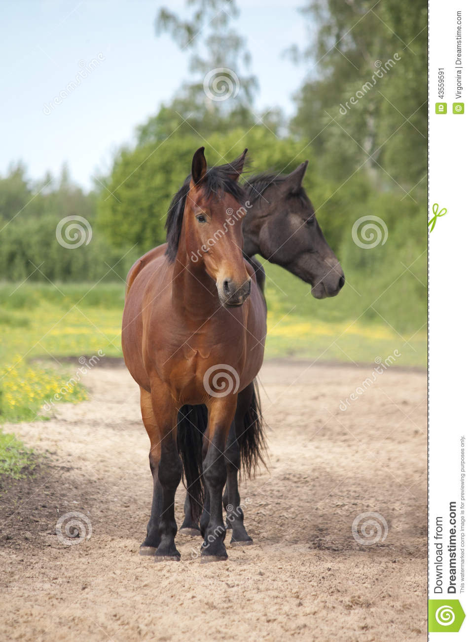 Two Headed Brown And Black Horse Stock Photo Image 43559591