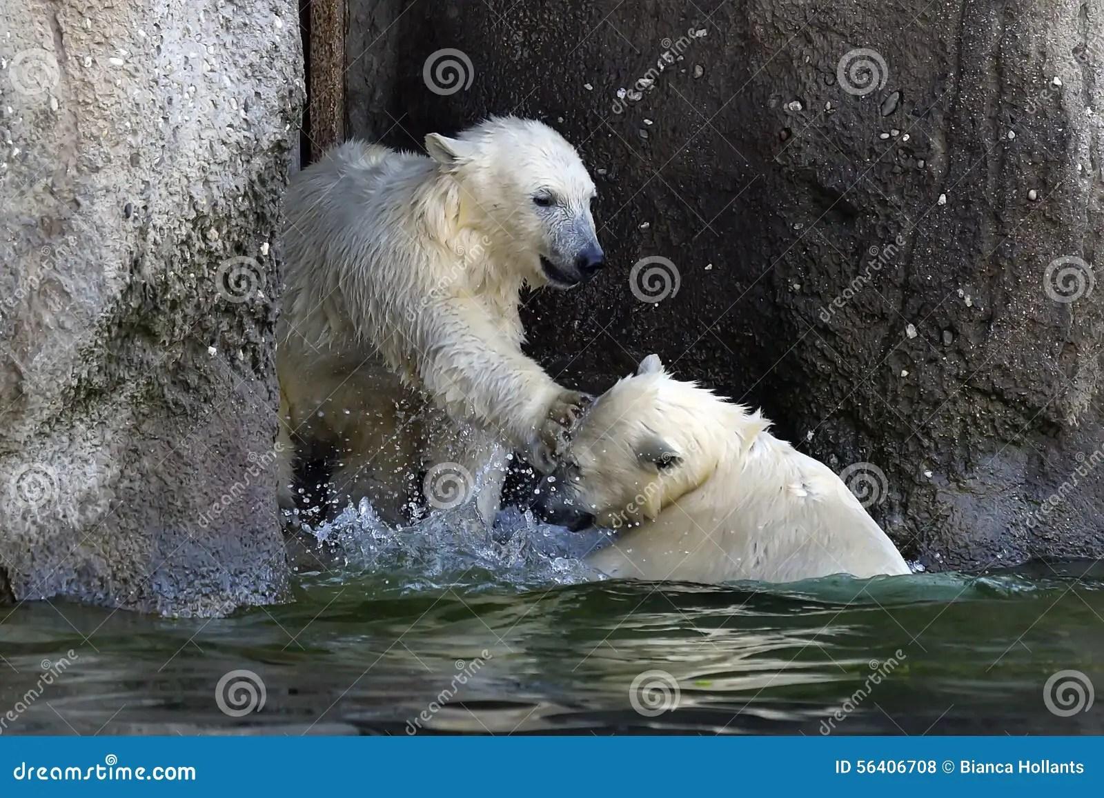 Two Young Polar Bears Playing Stock Photos