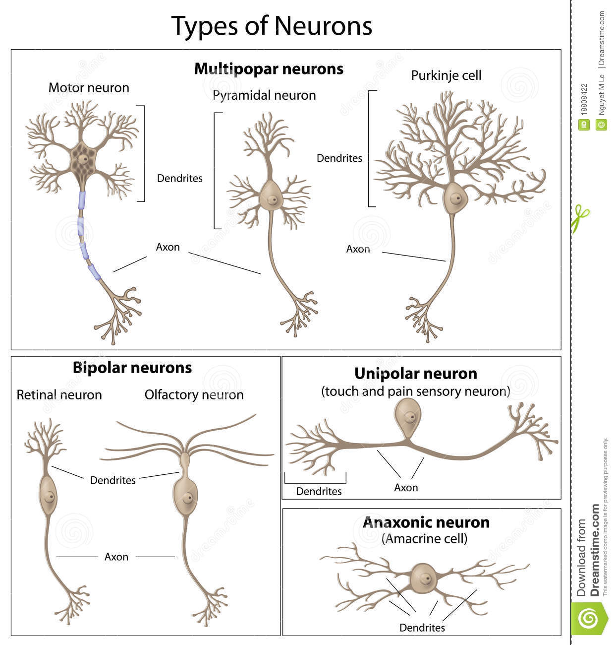 Types Of Neurons Stock Vector Illustration Of Collection