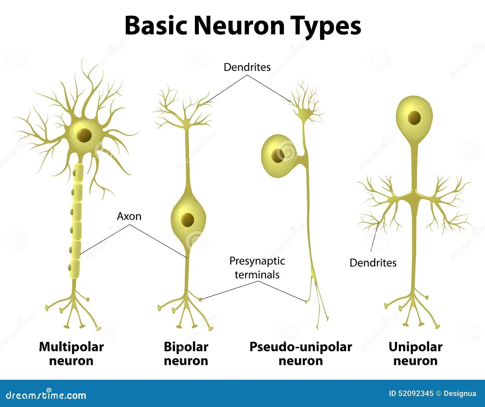 Types Of Neurons Stock Vector Illustration Of Dendrite