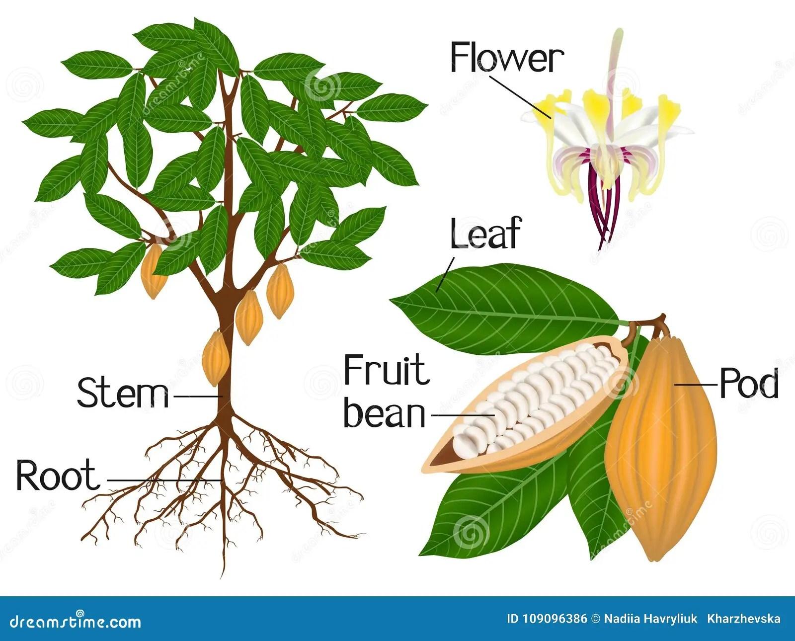 Un Ejemplo Que Muestra Partes De Una Planta Del Cacao