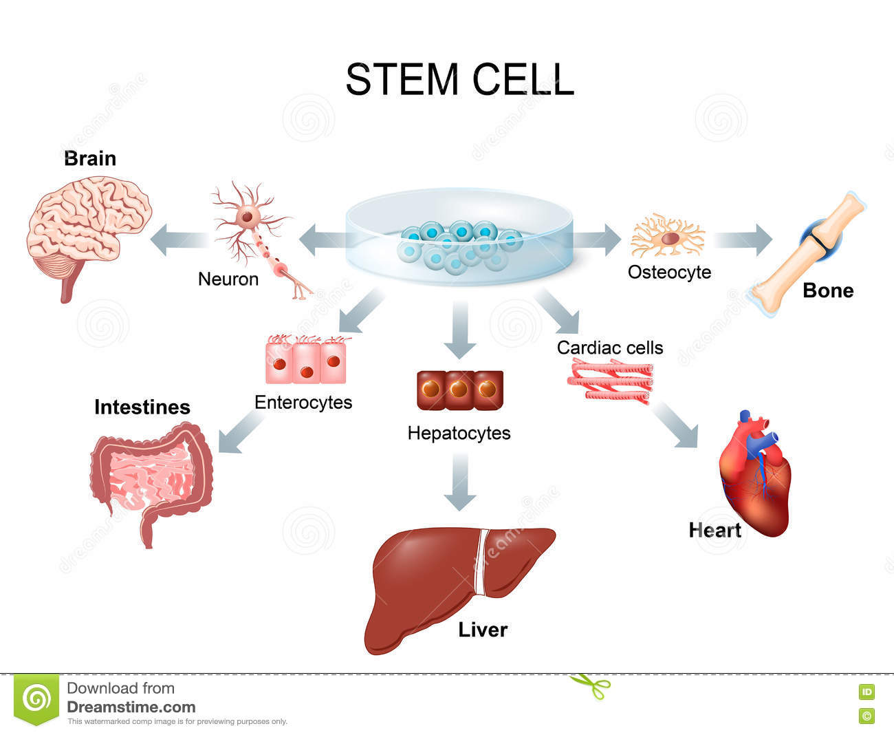 Using Stem Cells To Treat Disease Stock Vector