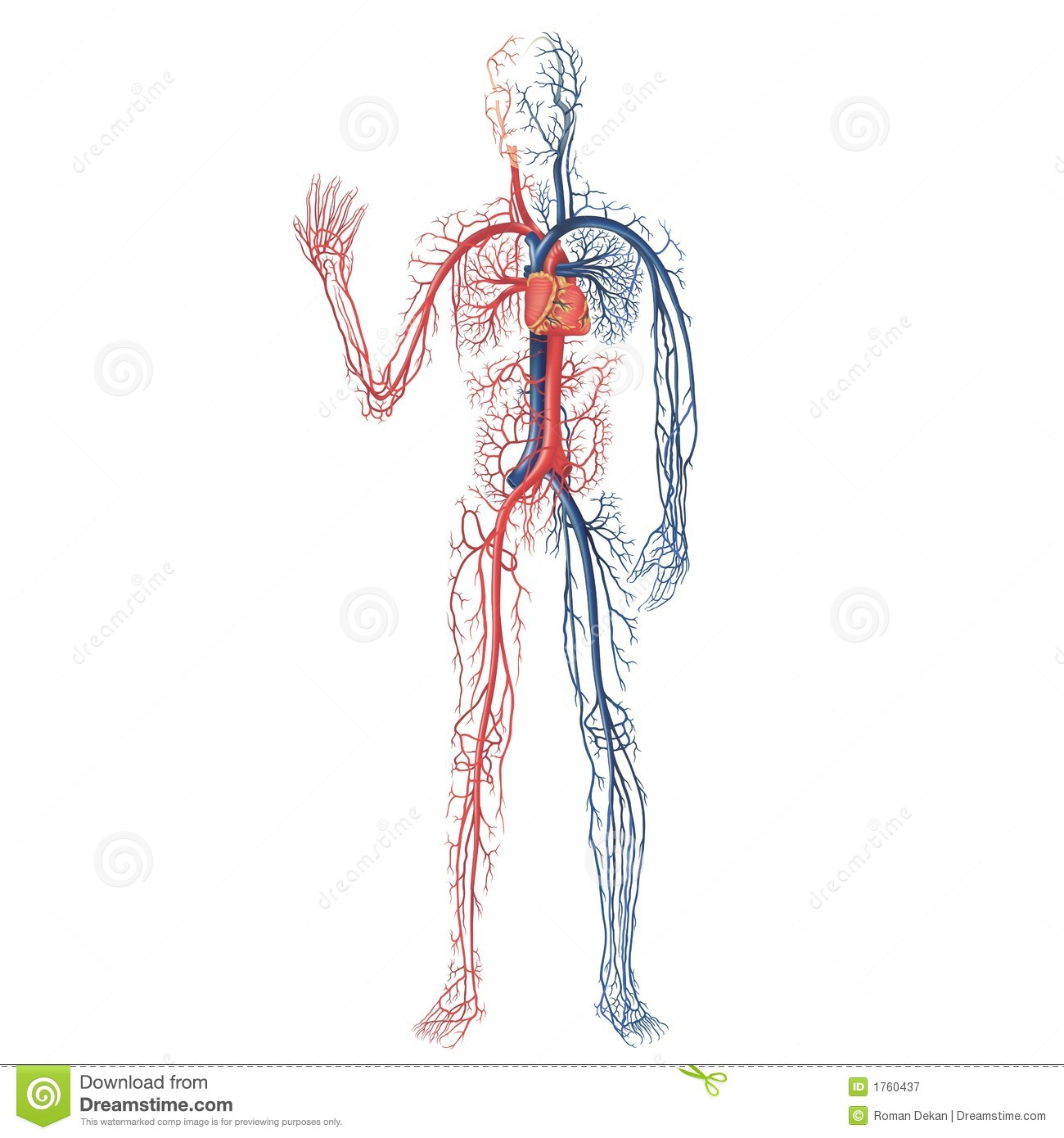 Worksheet Human Anatomy Vascular
