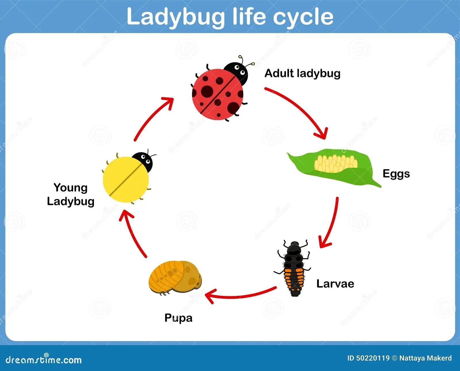 Vector Cycle Of Ladybug For Kids Stock Vector