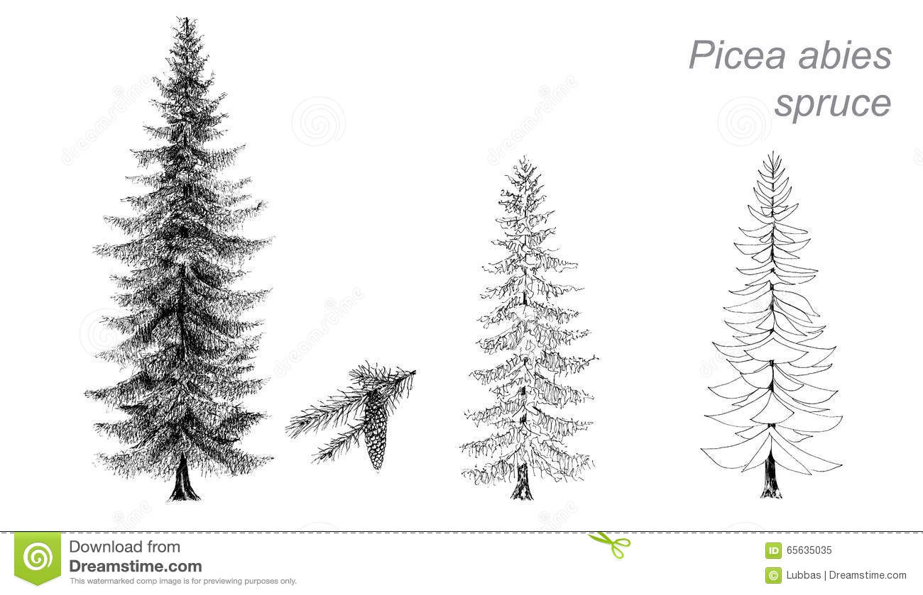 Vector Drawing Of Spruce Picea Abies Stock Vector