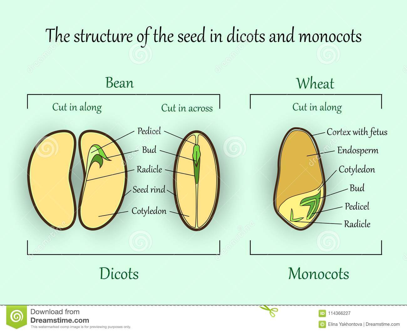 Vector Education Botany Banner Structure Monocot And