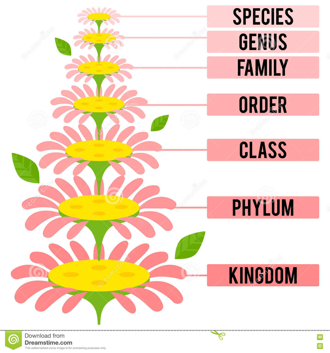 Vector Illustration With Major Taxonomic Ranks Of The