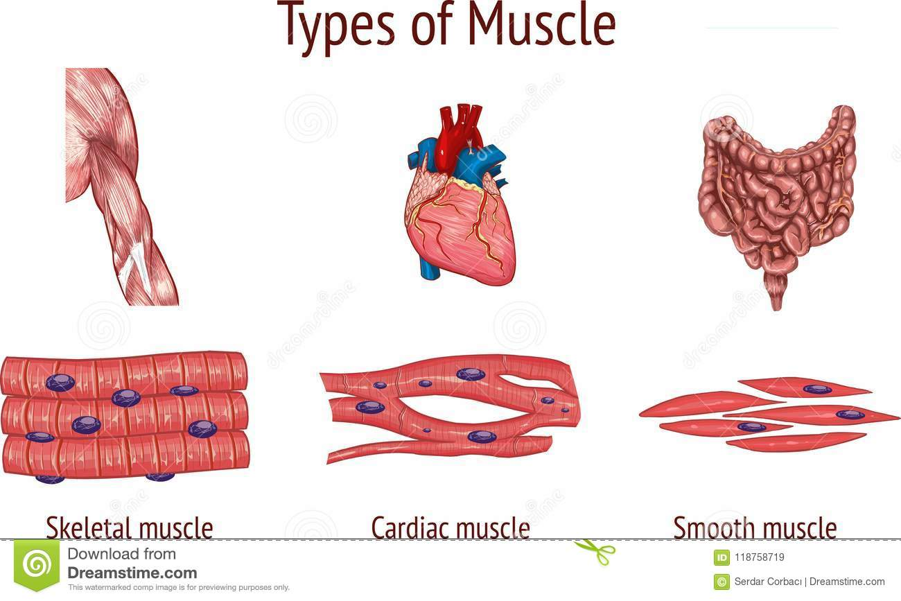 Types Of Muscle Tissue Of Human Body Diagram Cartoon