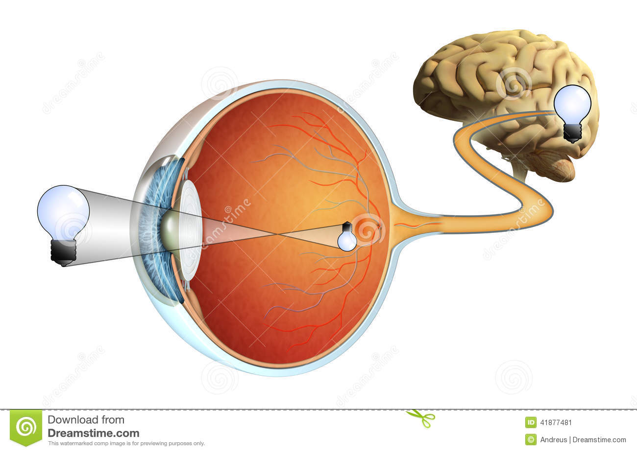 Eyes Vision Eye Brain And Vision
