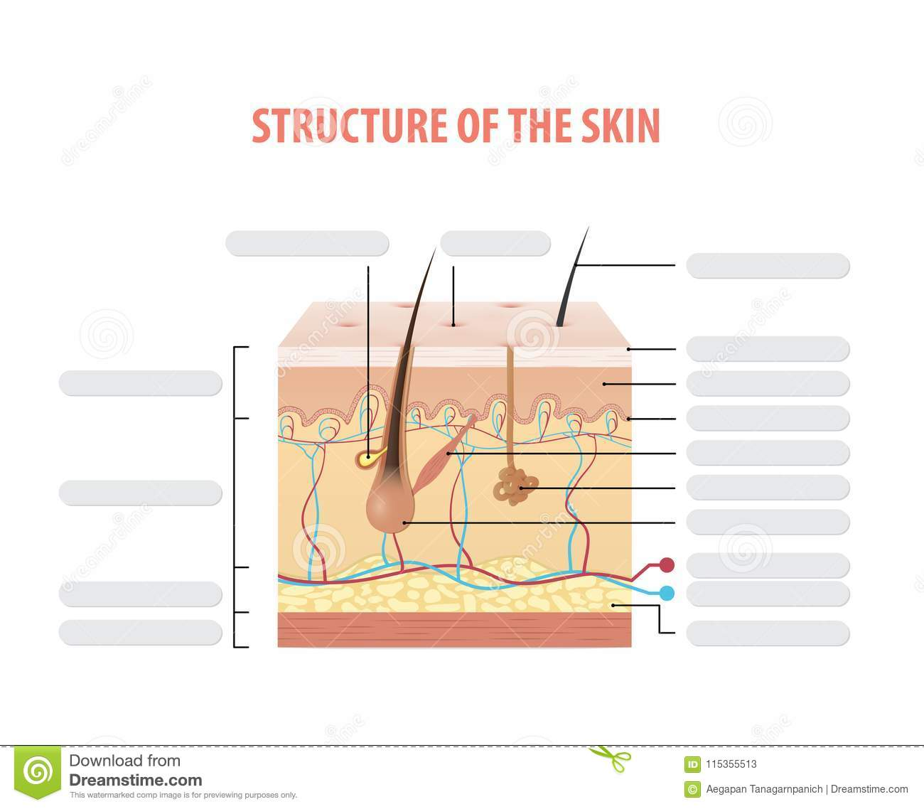 Vol 2 Structure Of The Skin Info Blank Illustration Vector