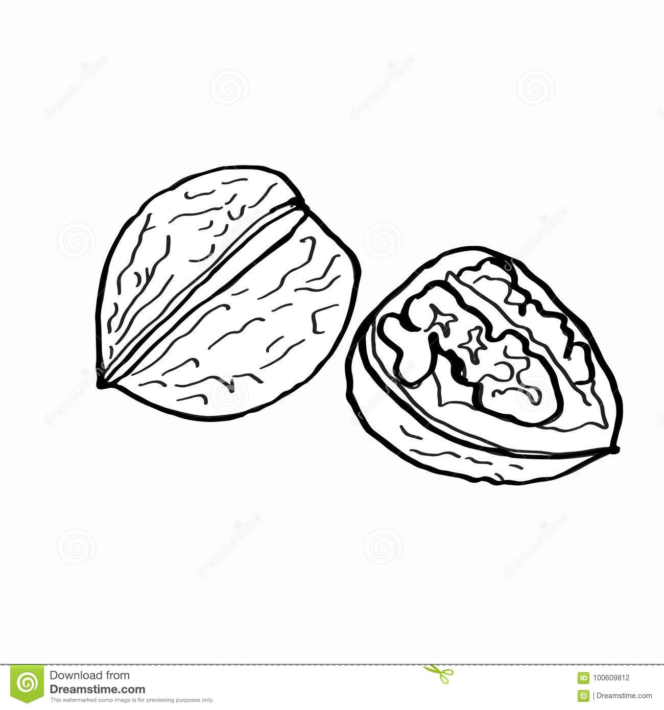Walnut Coloring And White Background Stock Vector