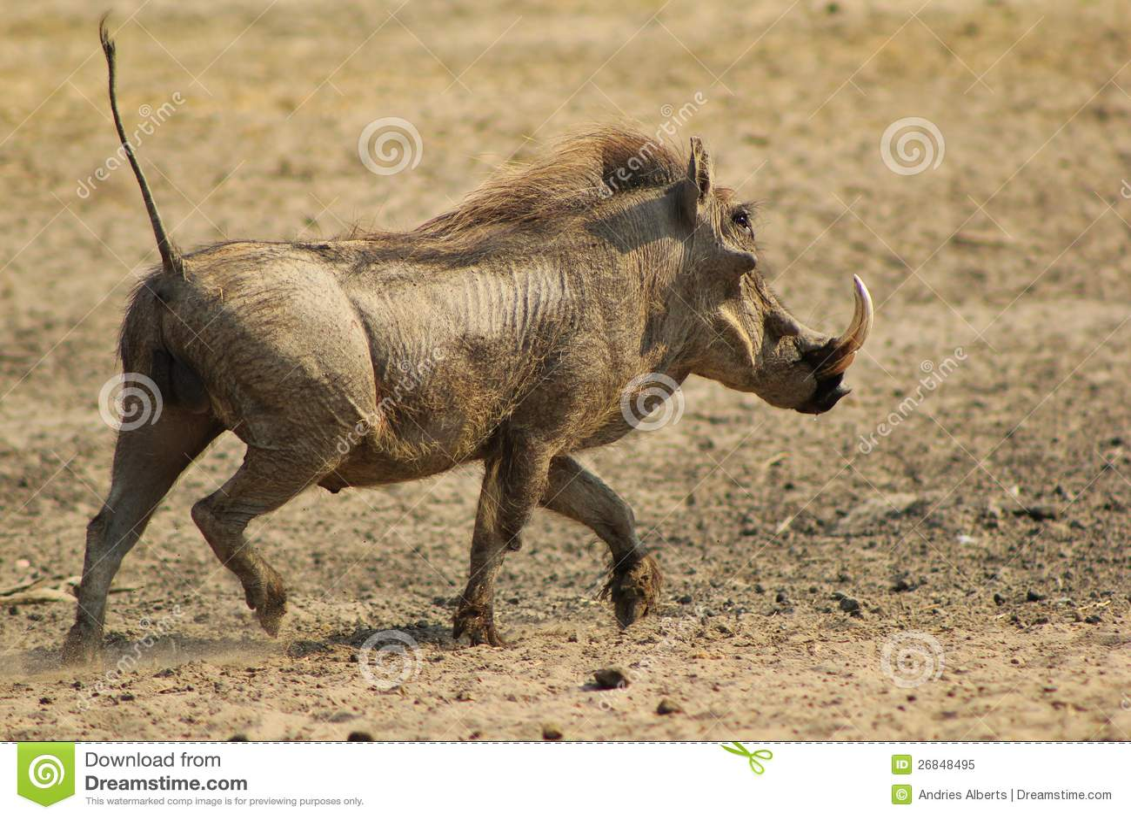 Warthog Running Hog Royalty Free Stock Photo Image