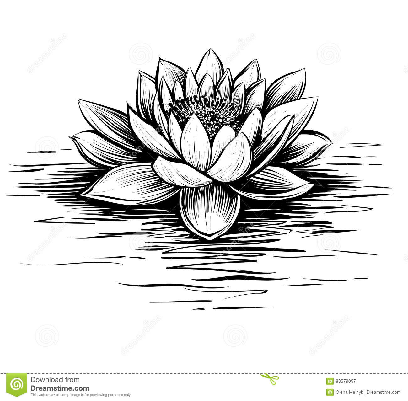 Water Lily Hand Drawn Vector Lotus Illustration Stock