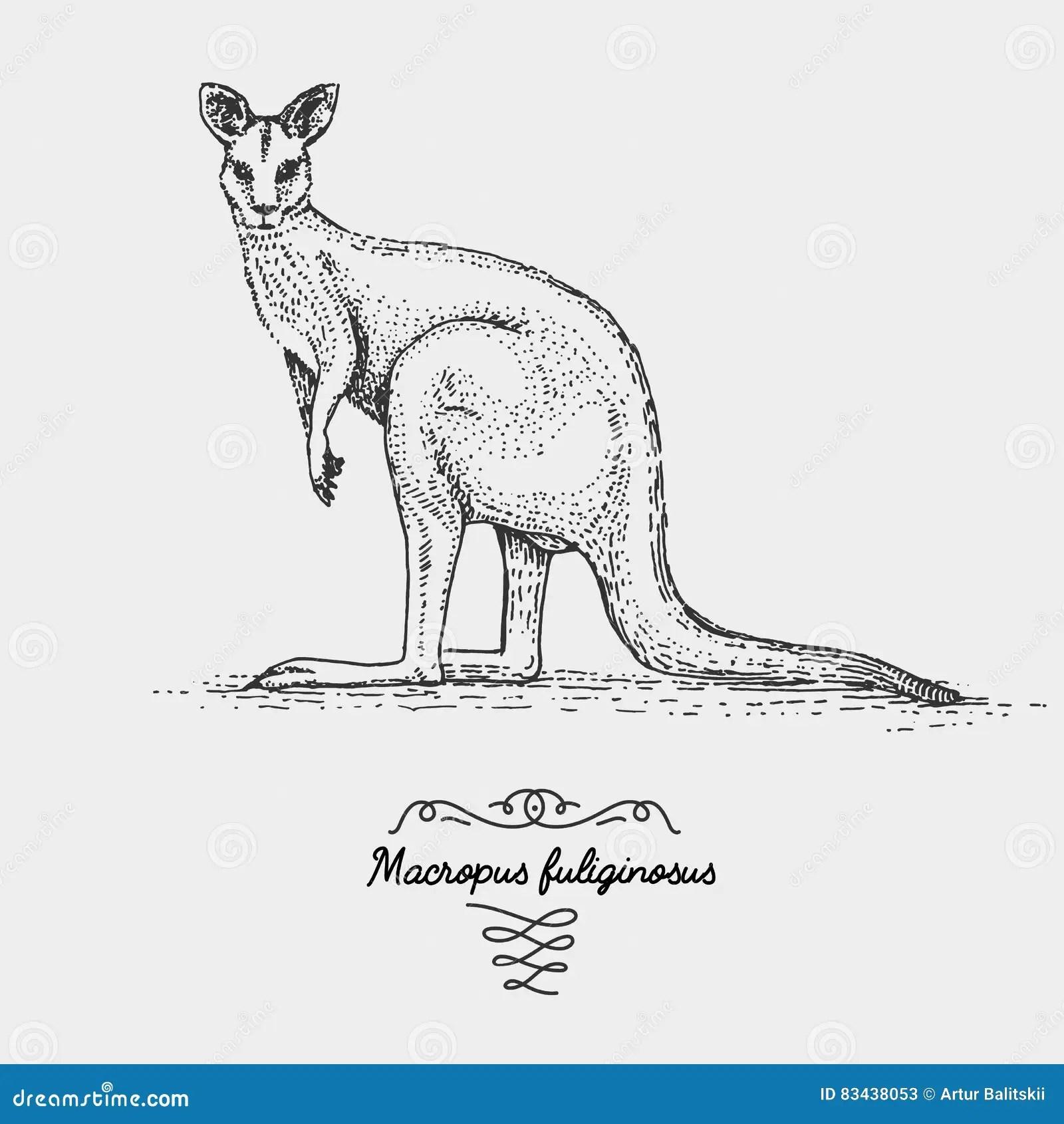The Western Grey Kangaroo Macropus Fuliginosus Stock