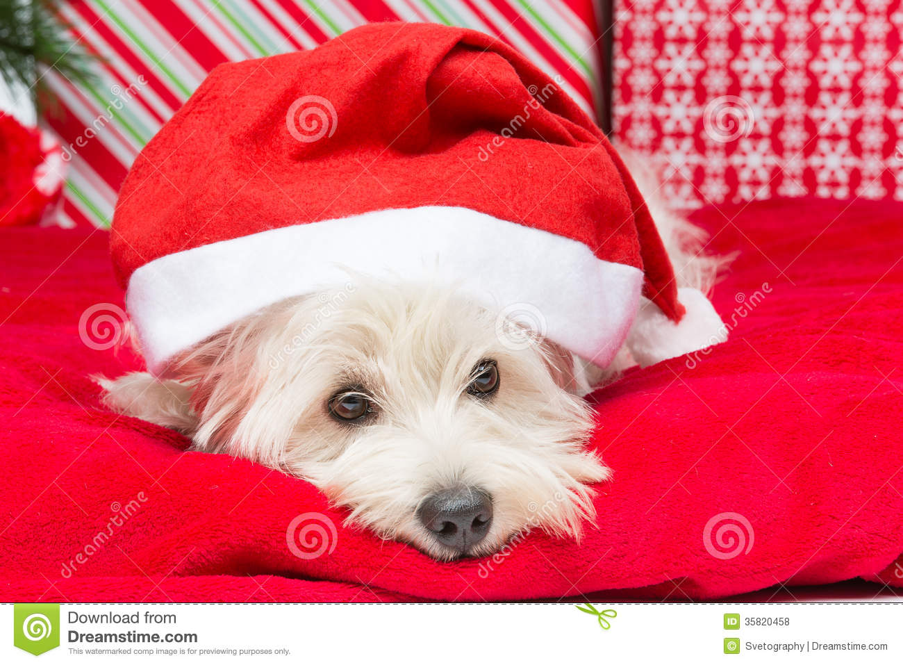 Westie In Christmas Hat Royalty Free Stock Photos Image