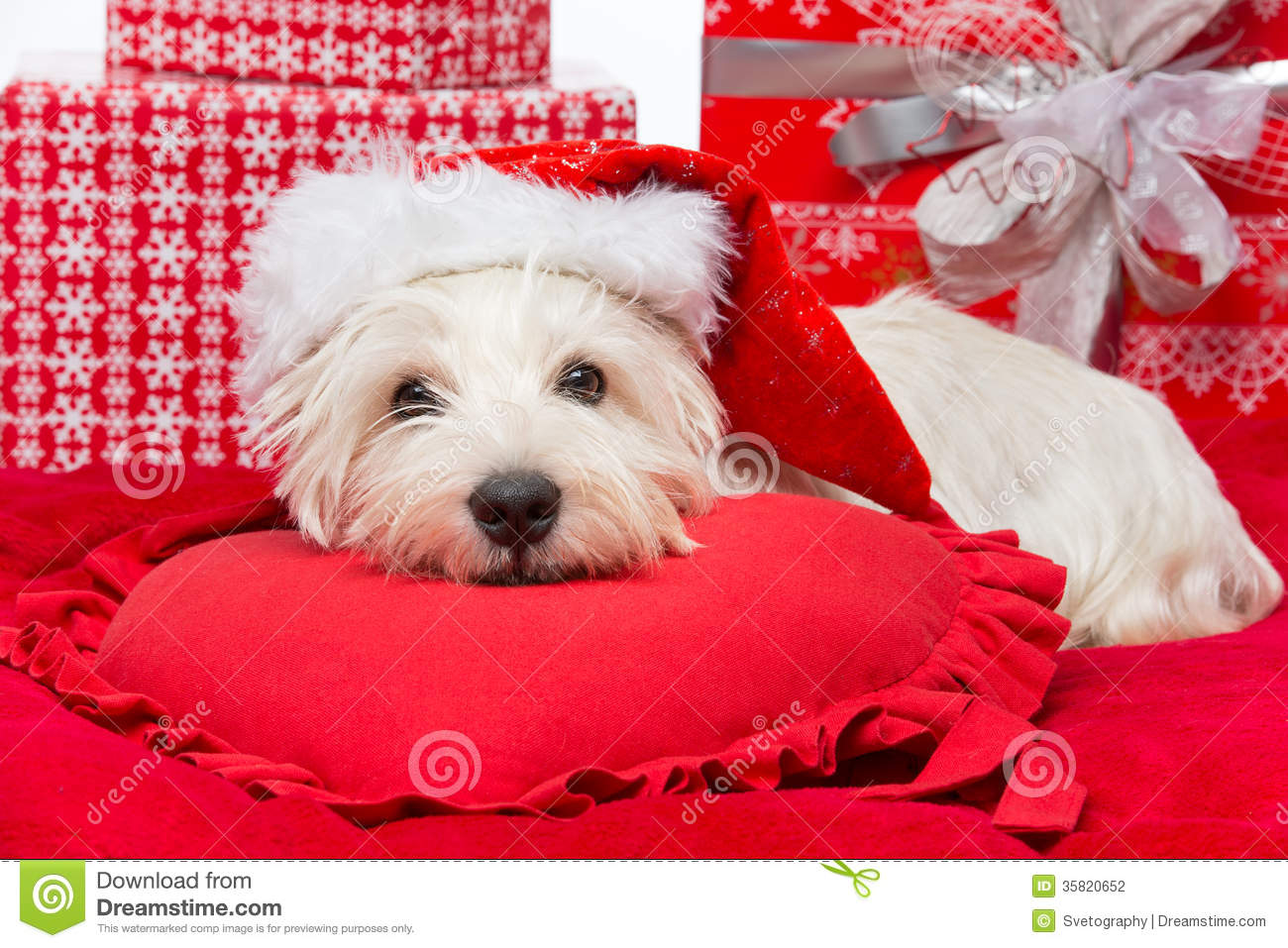 Westie In Christmas Hat Stock Photography Image 35820652
