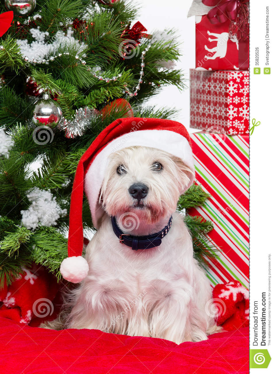 Westie In Christmas Hat Royalty Free Stock Image Image