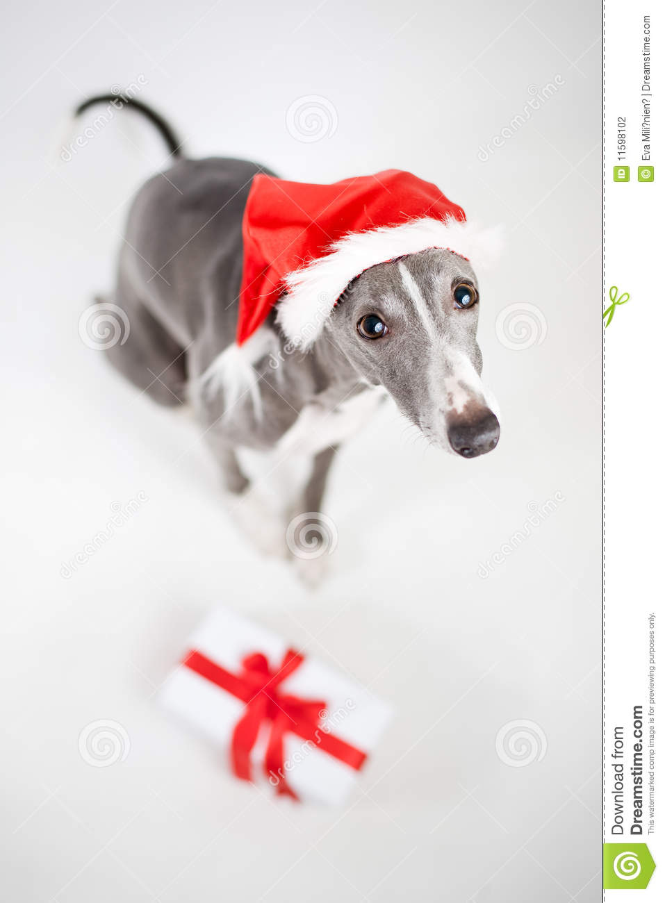 Whippet With Santa Hat And Christmas Present Stock