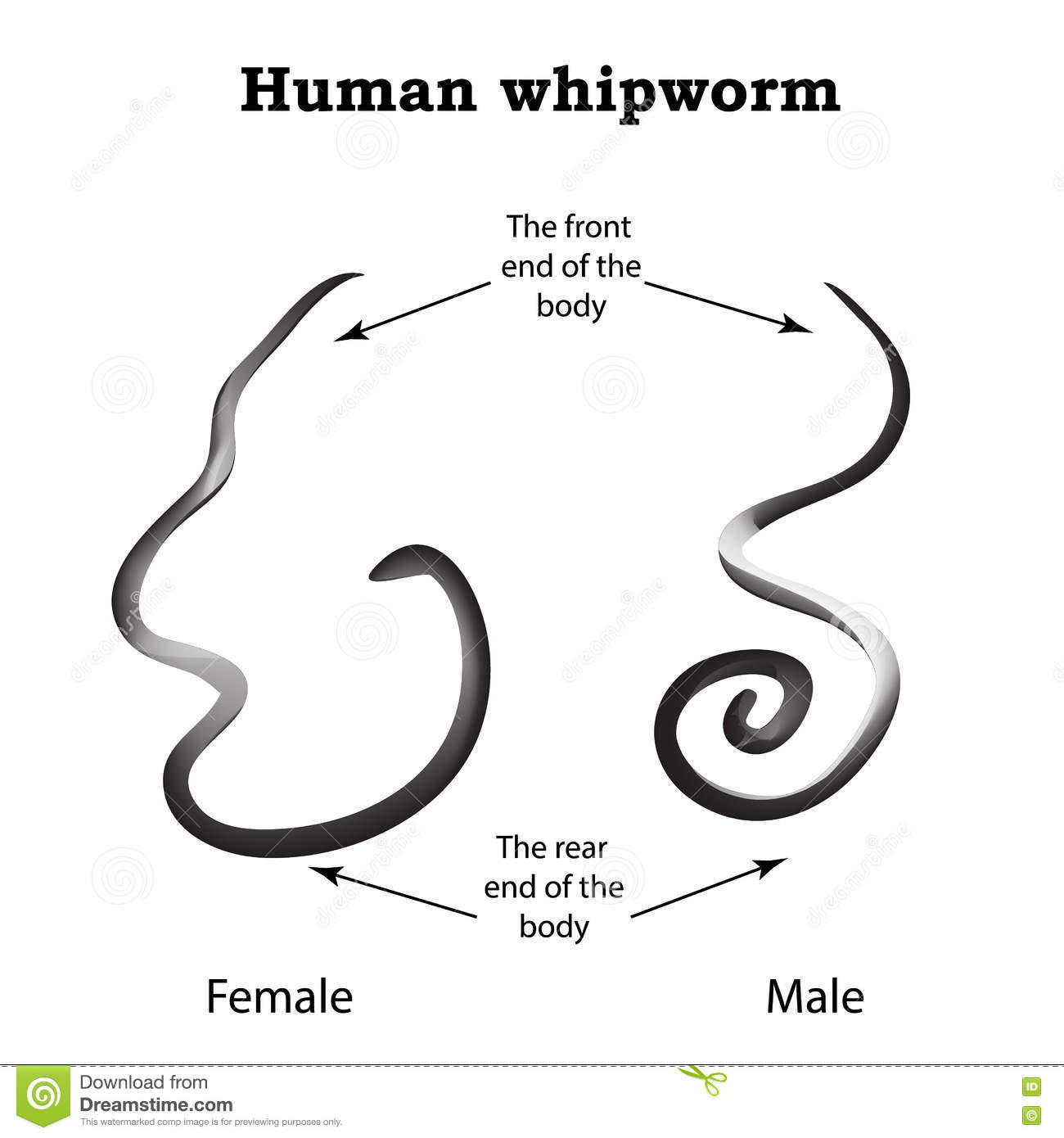 Whipworm Structure Whipworm Females The Structure Of The