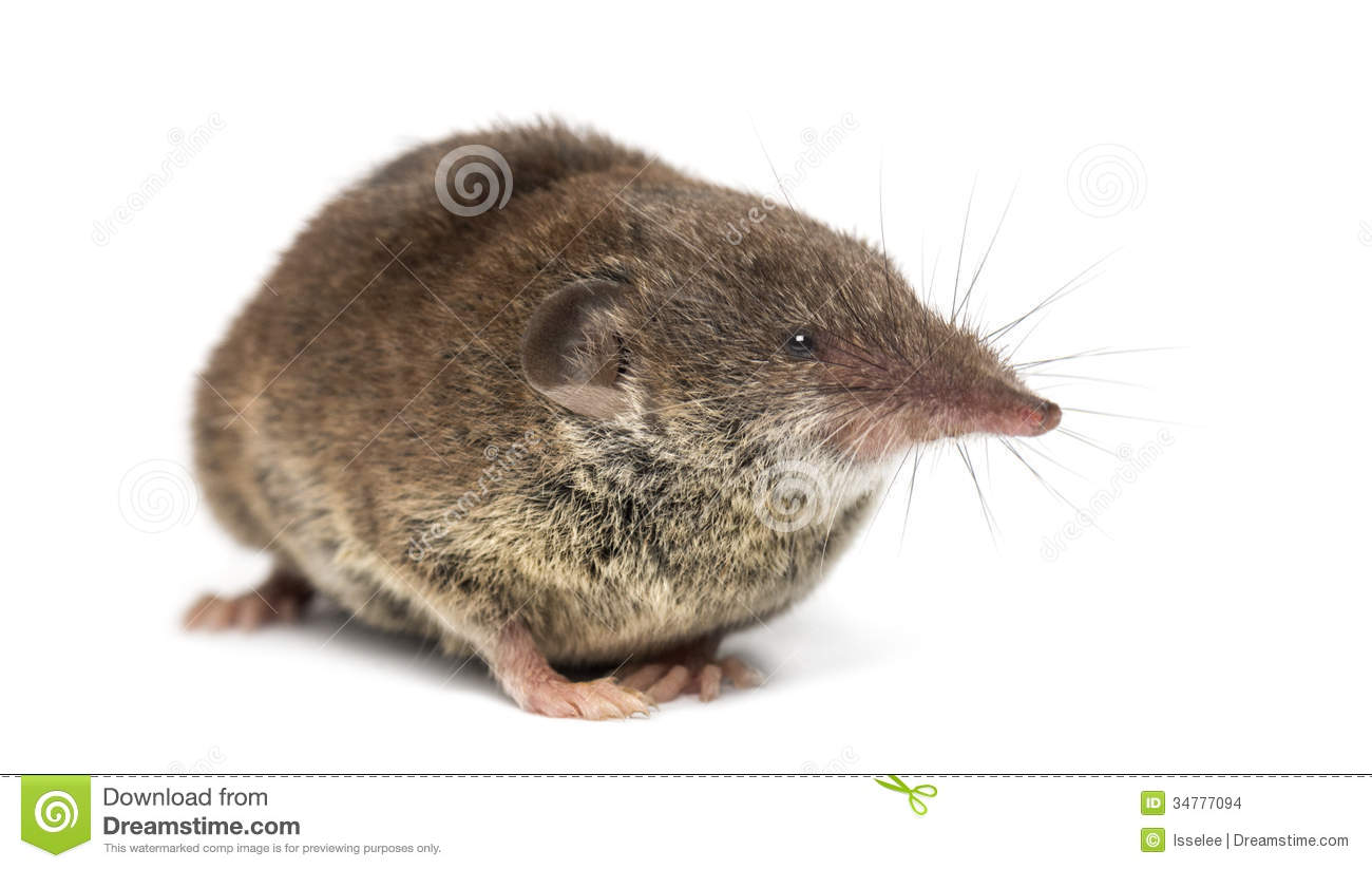 White Toothed Shrew Isolated Stock Photo