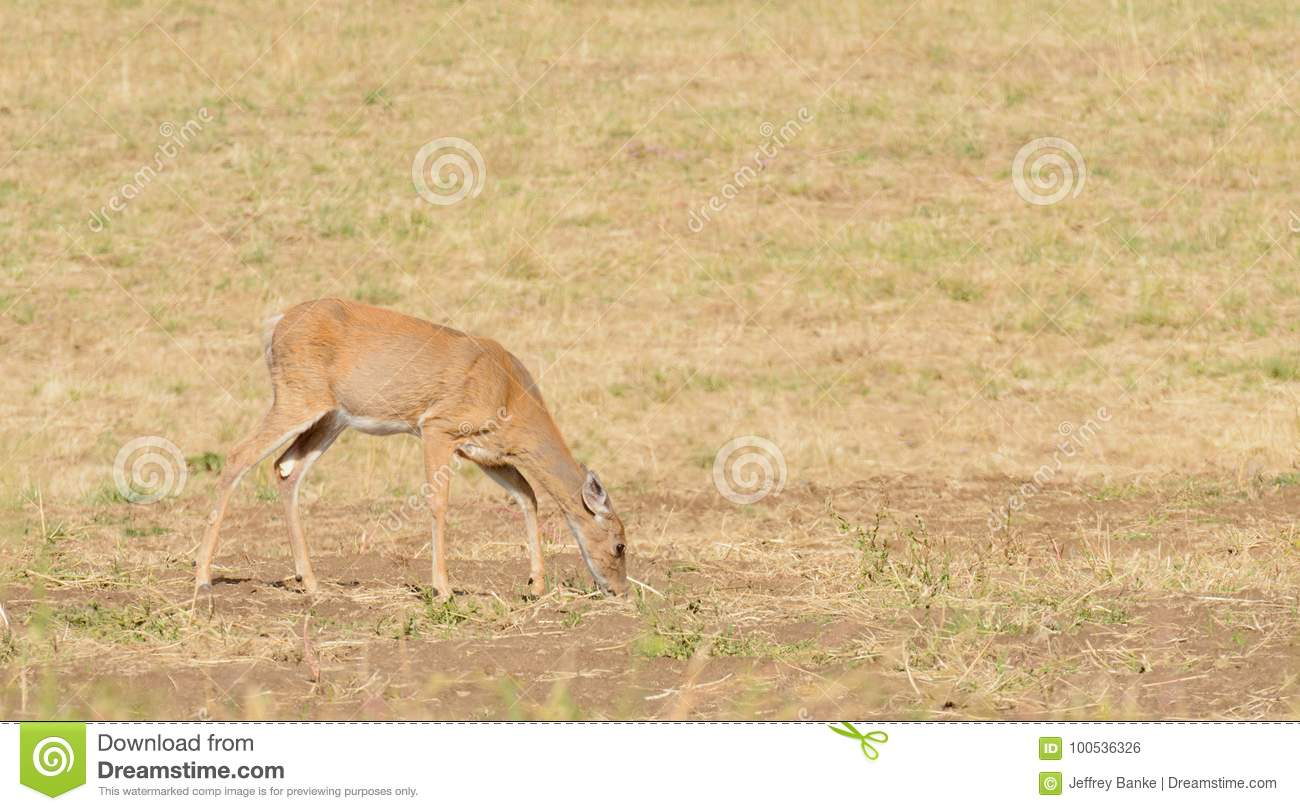 Whitetail Deer Stock Photo Image Of Hoofed Hunted