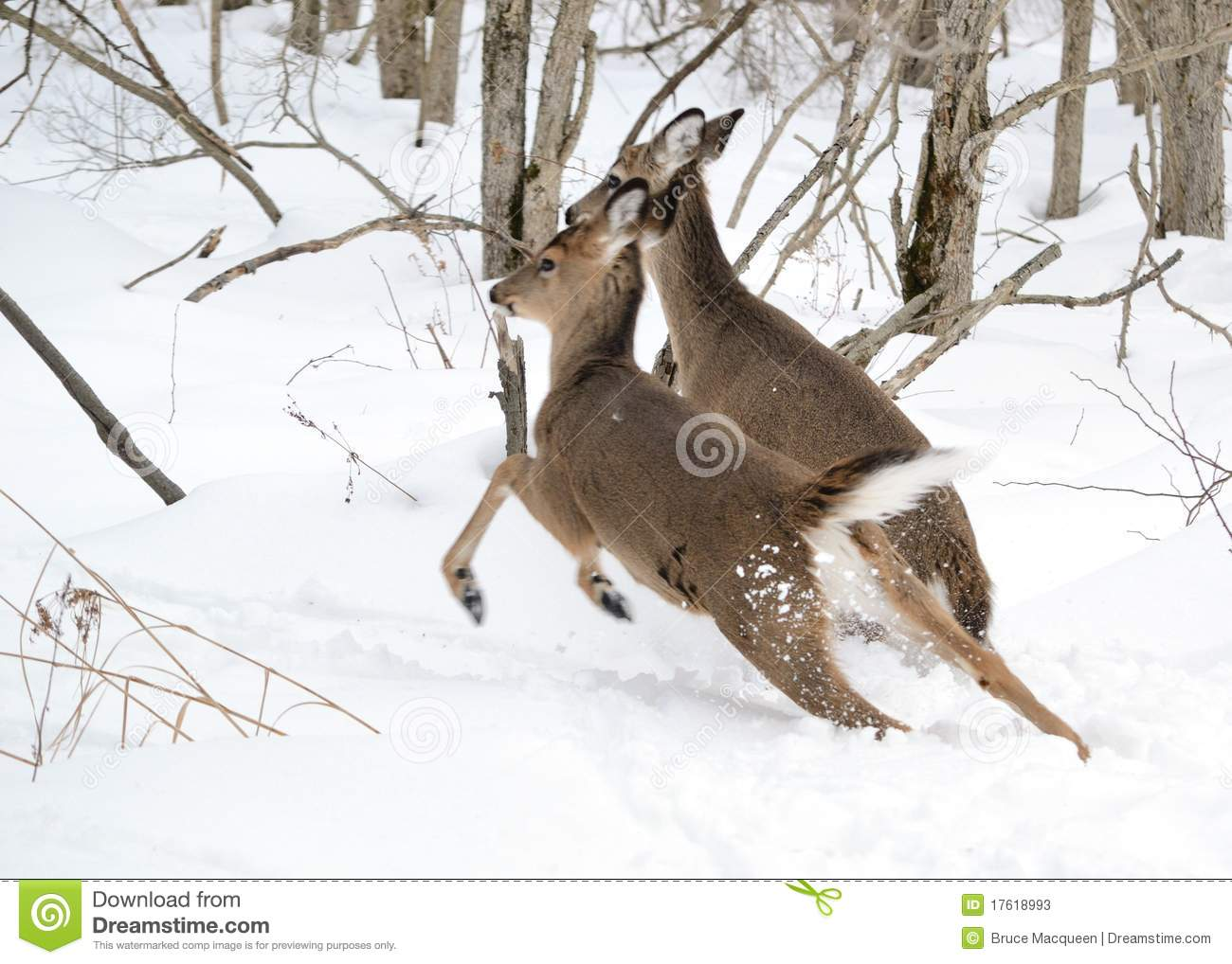 Whitetail Deer Yearling And Doe Stock Image
