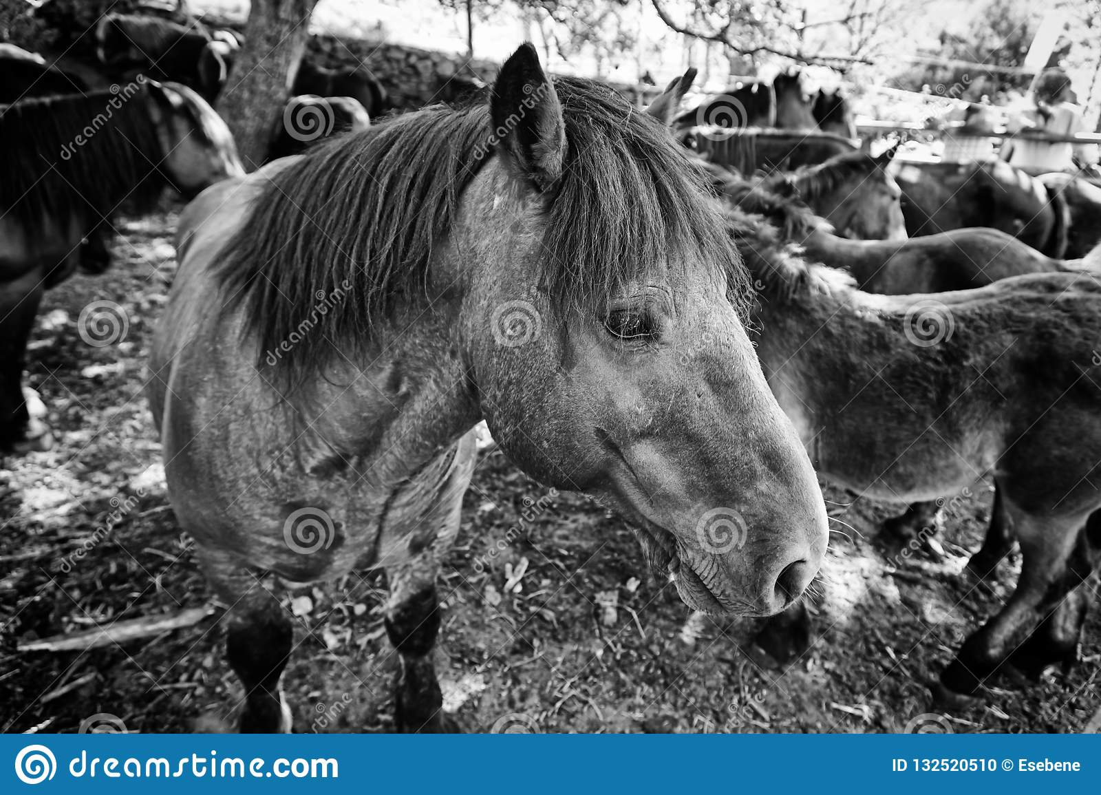 Image of: Spanish Flashcards Wild Horse Detail Of Wild Mammal In The Wild Animal Farm Strength And Nature Dreamstime Spanish Horse Stock Photo Image Of Black Field Beast 132520510