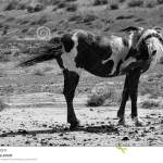 Wild Horses Black And White Stock Image Image Of Brown Beauty 73591775