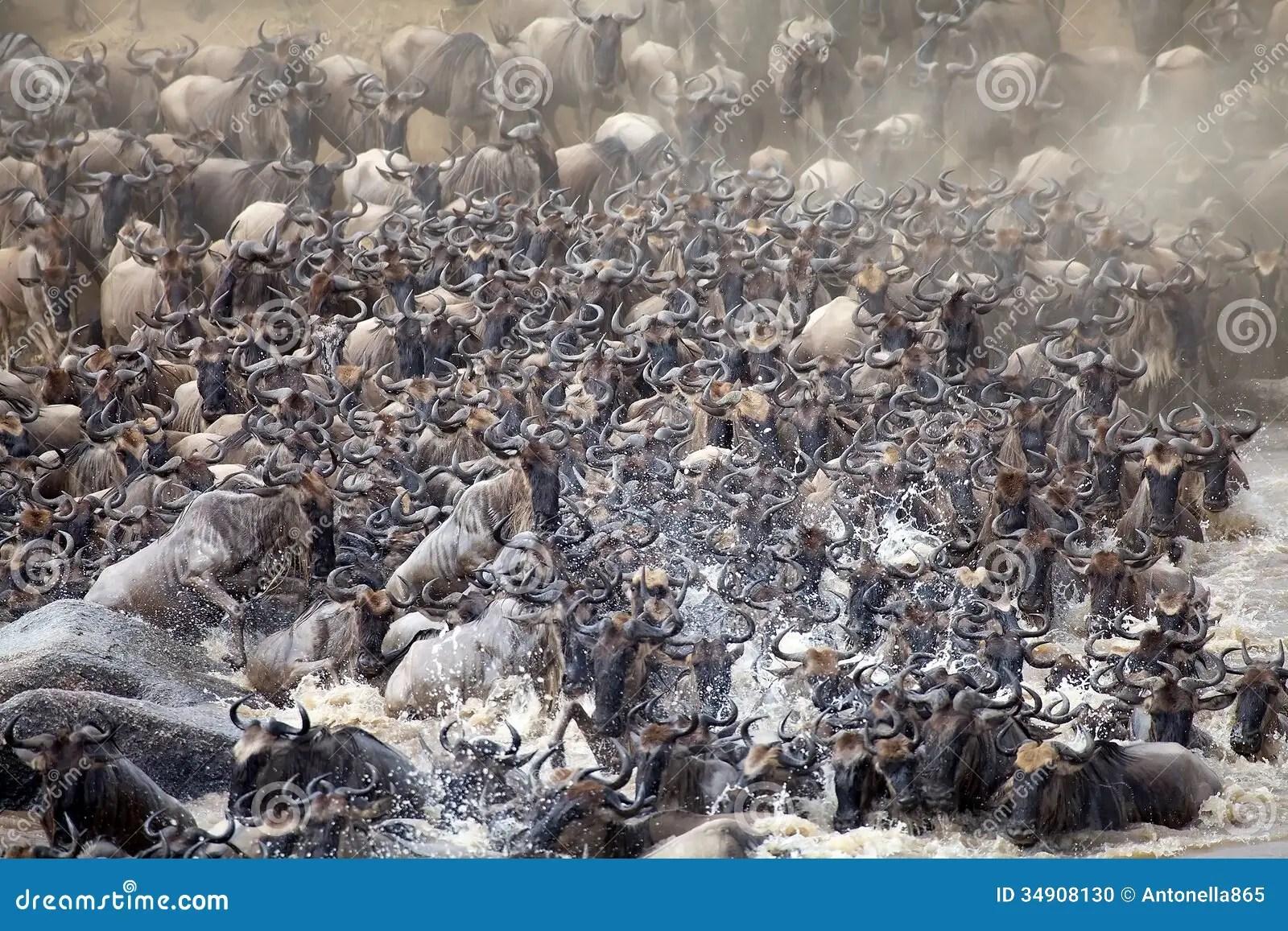 Wildebeest Connochaetes Taurinus Stock Photo