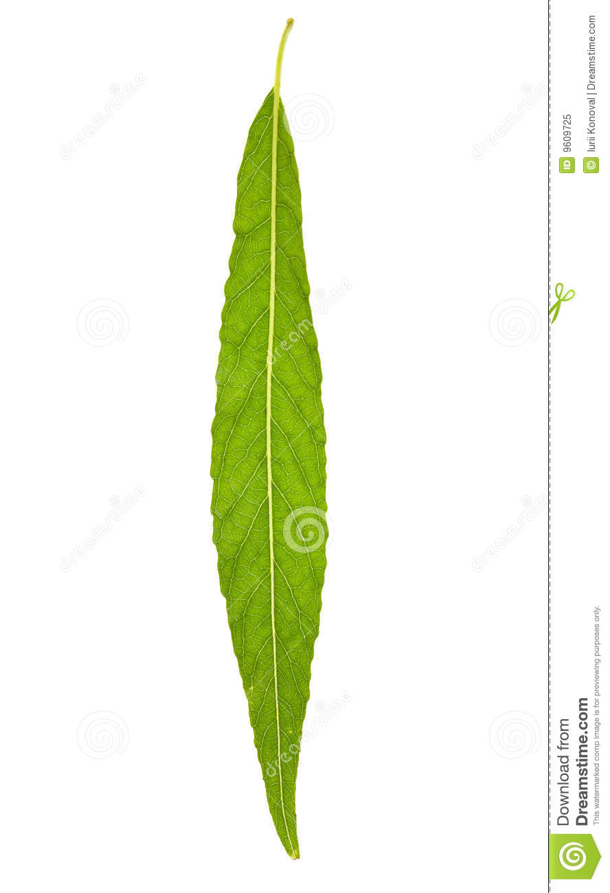 Willow Leaf Royalty Free Stock Photo Image 9609725