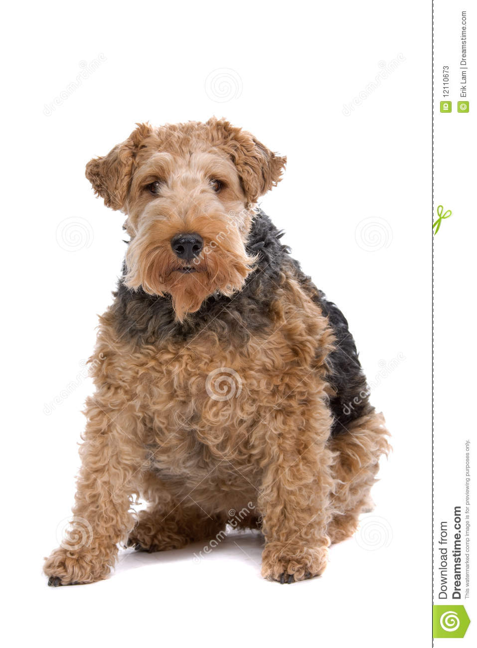 Wire Fox Terrier Stock Image Image Of Canine Sitting