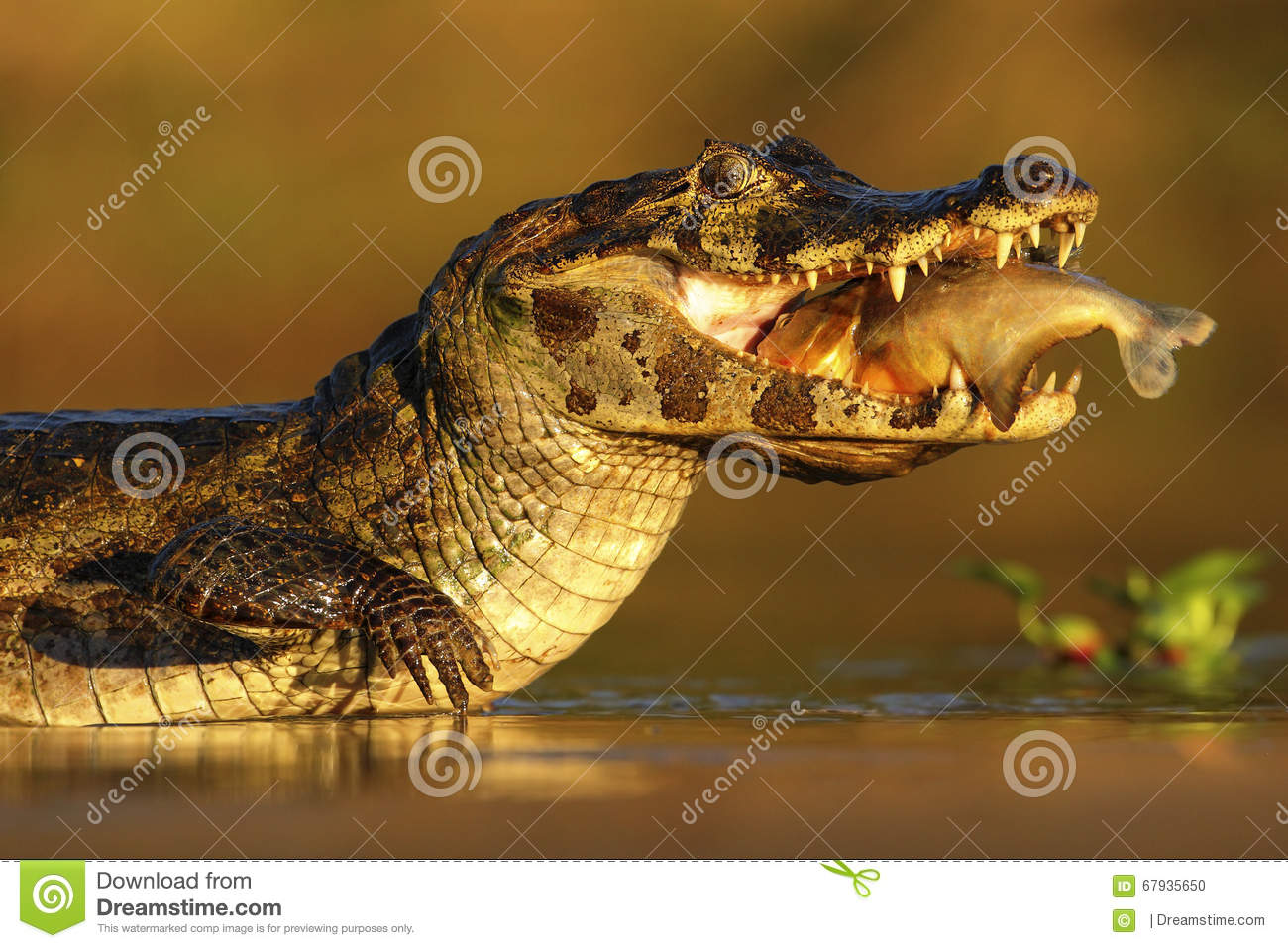 Yacare Caiman Crocodile With Fish In With Evening Sun