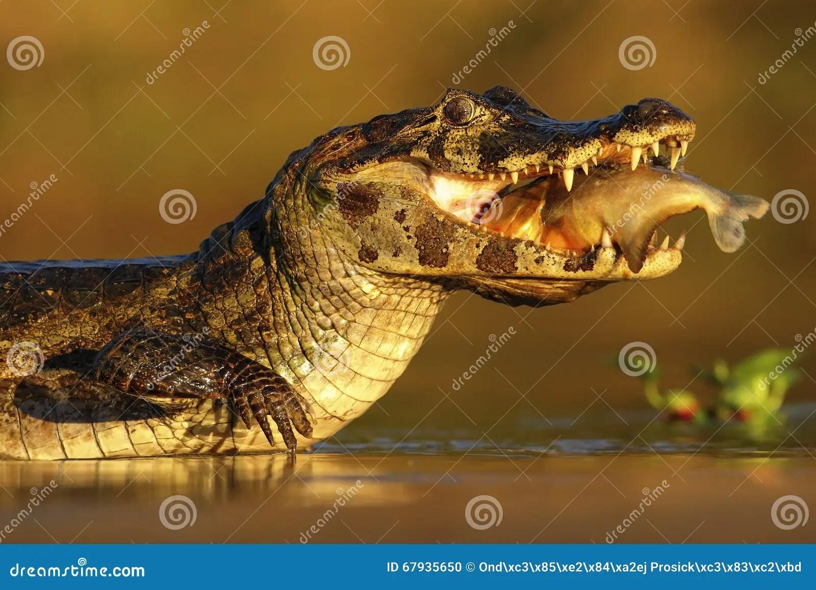Yacare Caiman Krokodyl Z Ryba Wewn Trz Z Wieczor S O Cem