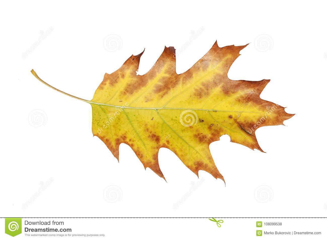 Yellow Leaf With Red Border From Autumn Fall Tree Isolated