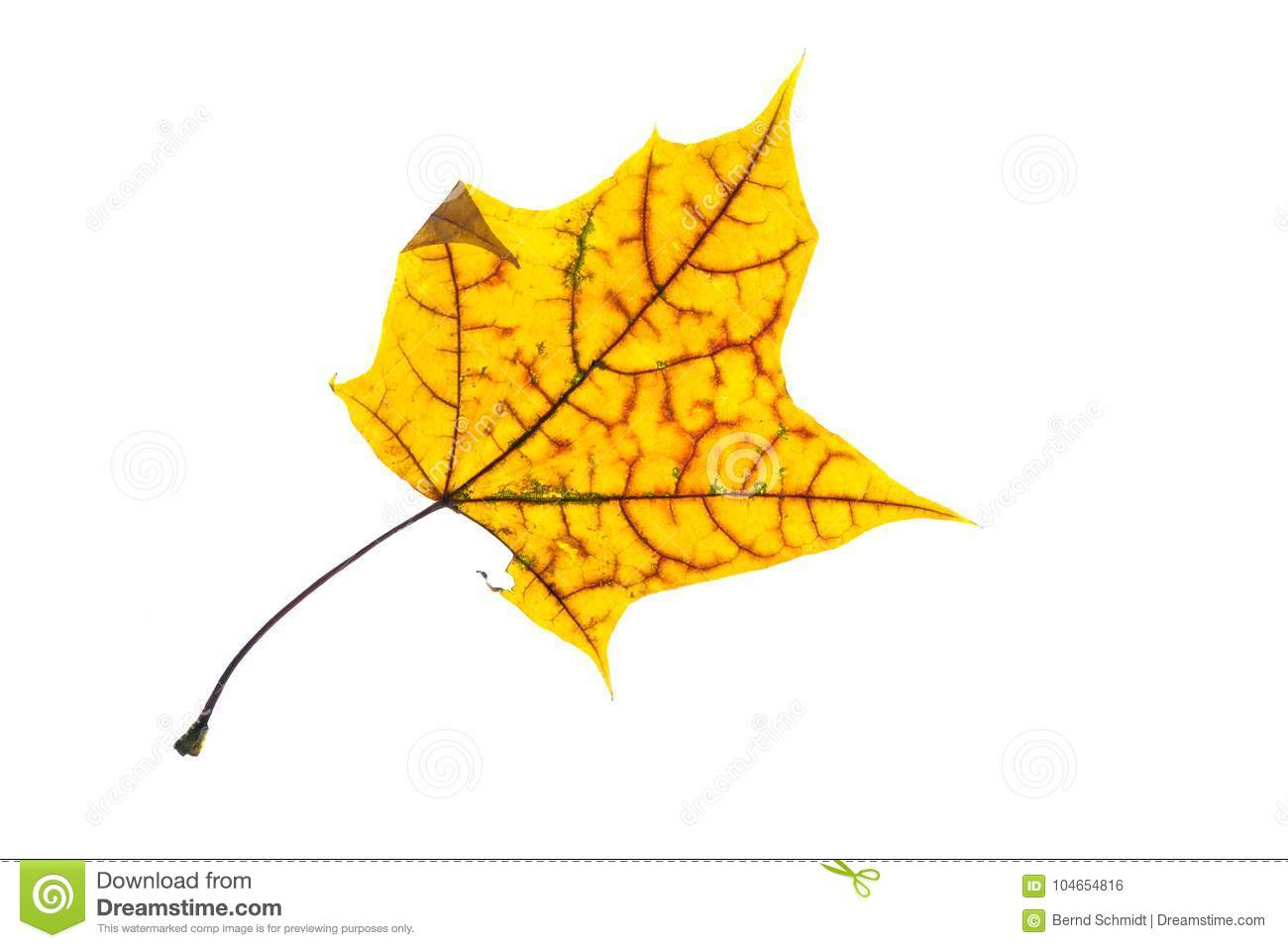 Yellow Maple Leaf With Red Veins In Autmn Colouring Stock