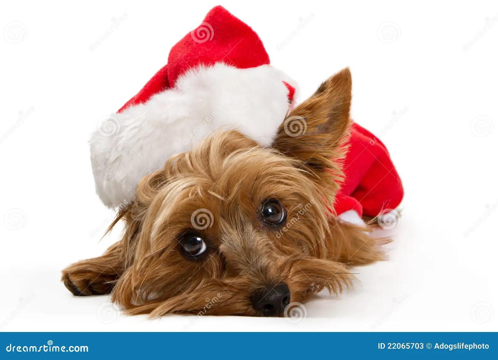 Yorkshire Terrier Dog Wearing Santa Hat Stock Image