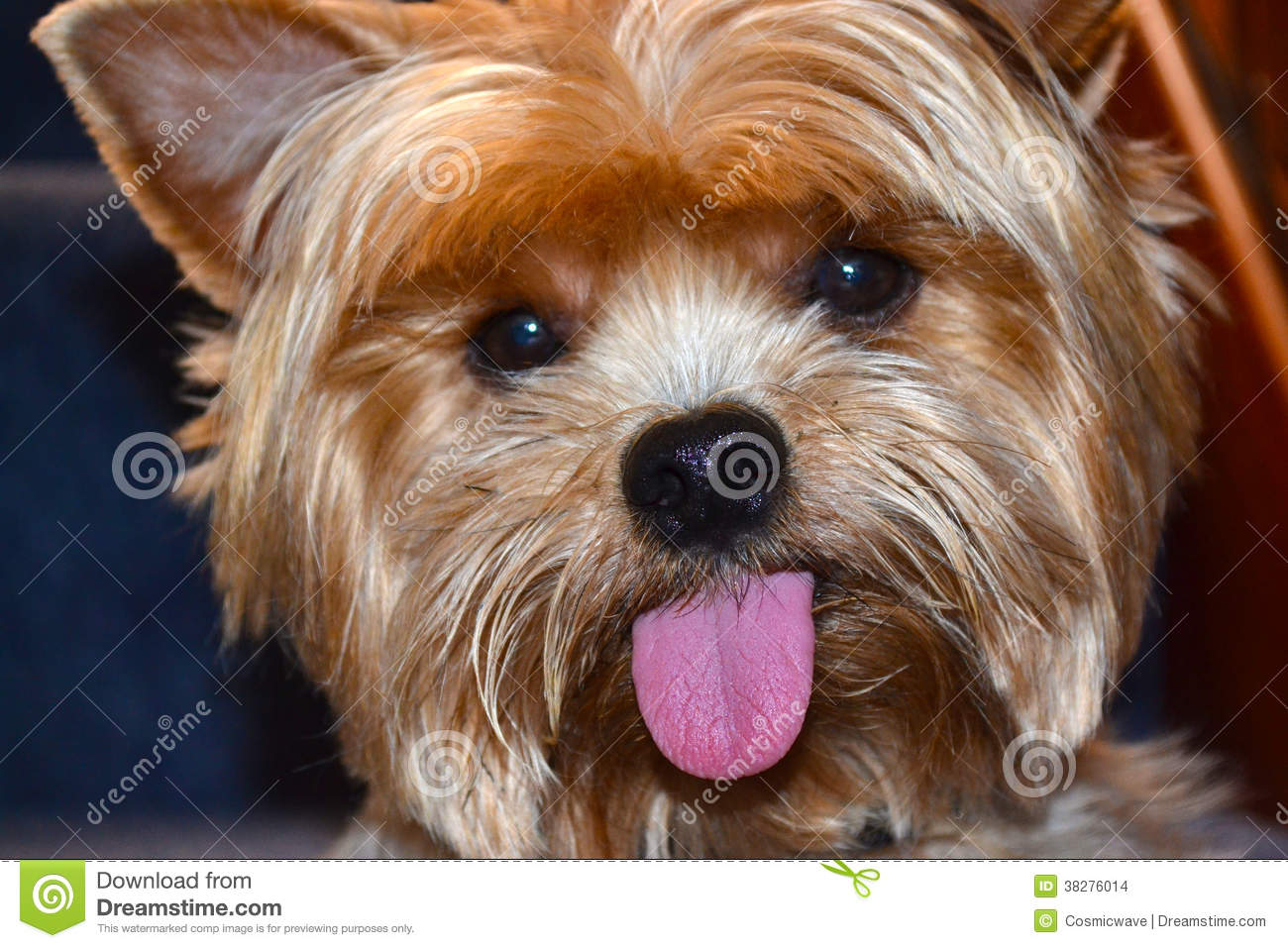 Yorkshire Terrier Yorkie Tongue Stock Photo Image Of