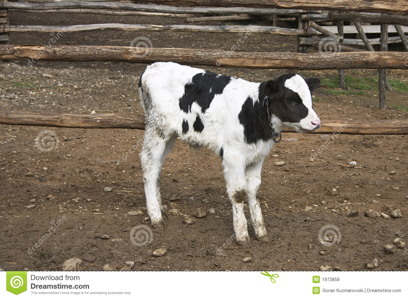 Young Cow In A Farm Royalty Free Stock Photos Image 1973858