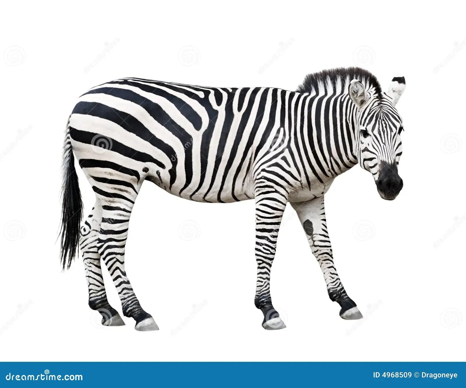 Zebra Cutout Stock Image Image Of Burchell Strip Safari
