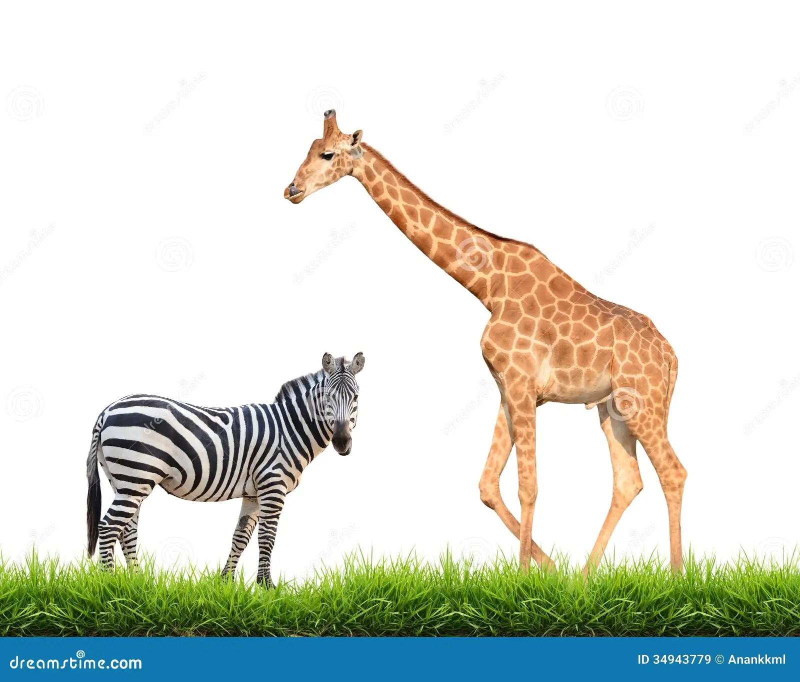 Zebra Giraffe With Green Grass Isolated Royalty Free Stock