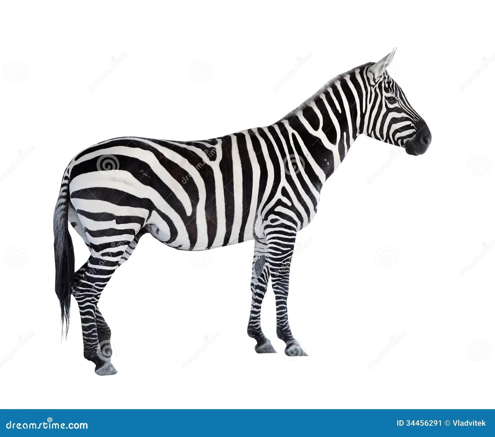 The Zebra Stock Image